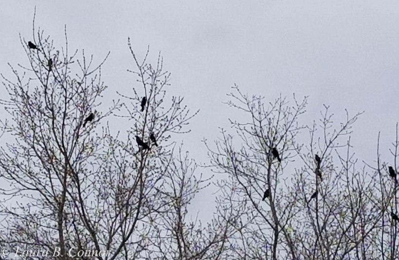 starlings 1.0